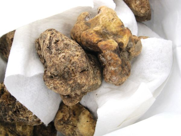 Italian white truffle